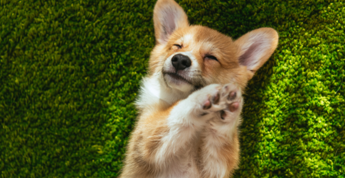 Corgidoge explodes with 42,000% day-to-day beneficial properties: the build to know CORGI
